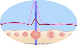 Ovulation Eisprung - ovulationstest-schwangerschaftstest.de